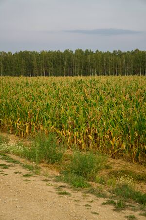 Corn plantations in endless fields. Summer landscape 写真素材