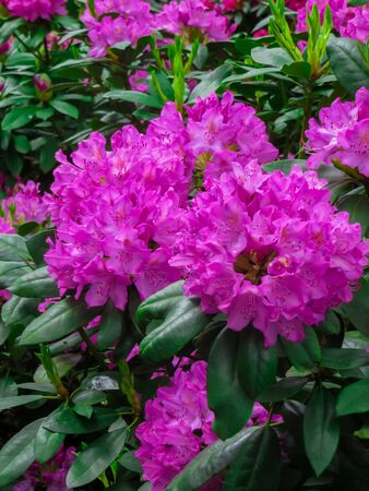 Beautiful rhododendron shrubs strewn with beautiful flowers