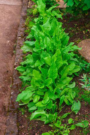 Fresh organic sorrel leaves pattern background for salad or soup. First spring greens - sorrel