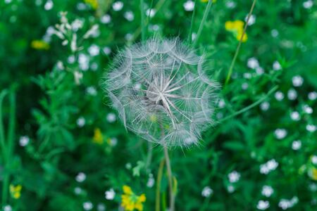 Fluffy seeds of a faded dandelion on the field