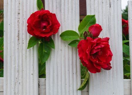 beautiful red roses that tend to the sun through the fence