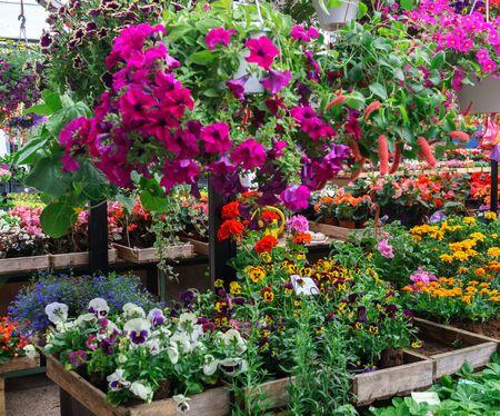 Filas de plántulas de flores en el mercado de la aldea Foto de archivo