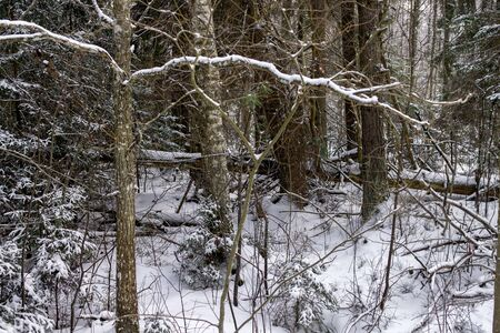 Winter landscape, the whole forest strewn with snow. Stock Photo