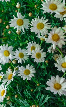 A bouquet of white beautiful garden daisies.