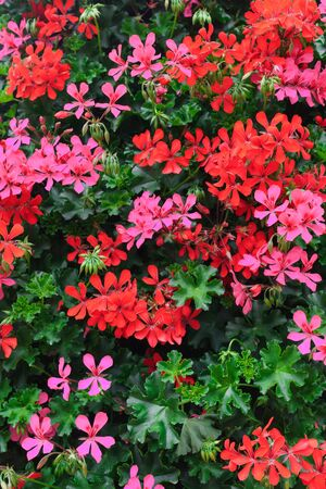 Flowers of a colorful geranium planted in the garden Stock Photo