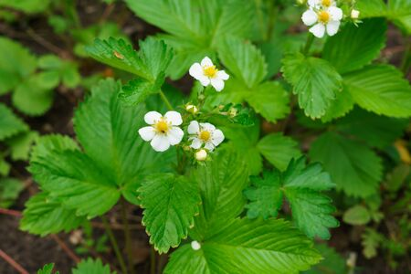 Young bushes blossoming strawberries in early summer Standard-Bild