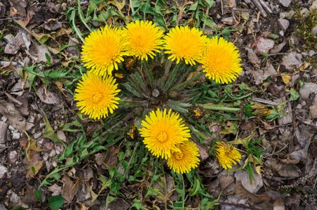 The first yellow dandelion flowers on the roadside