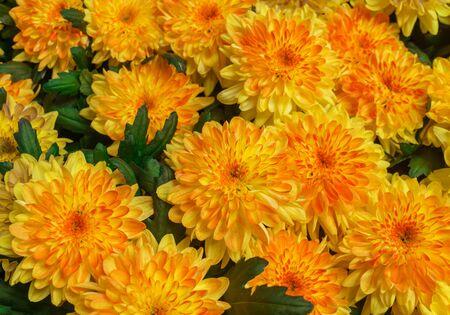 Beautiful yellow Chrysanthemum flower in the garden