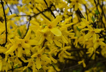 Yellow flowers Forsythia in early spring on bare branches without leaves