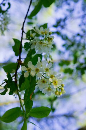 flowers of white fragrant cherry in the early spring in the forest Stock Photo