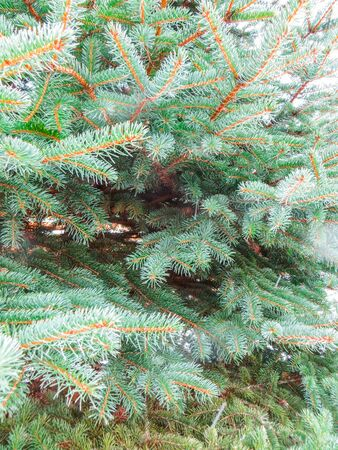 Green branches of trees covered with snow in Jurmala Stock Photo
