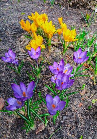 The first spring flowers crocus. spring fragrant flowers of crocus and green grass. Spring bright floral background. Gentle symbol of spring Stock Photo