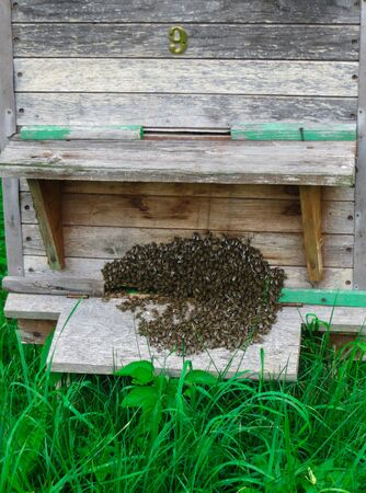 A swarm of bees at the entrance to the hive in the garden in early spring