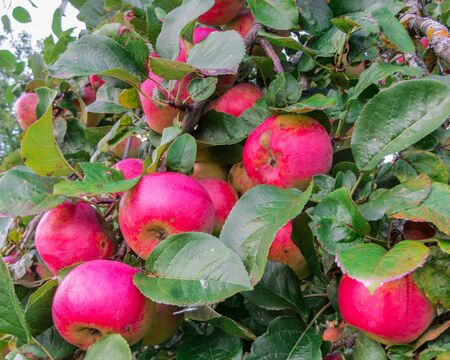 Juicy bunches of apples on the branches of an apple tree in the garden.
