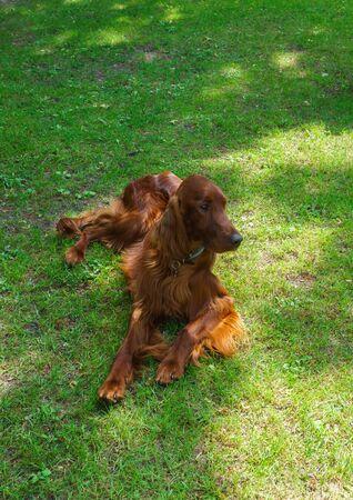 Dog breeds satter, brown color on the lawn