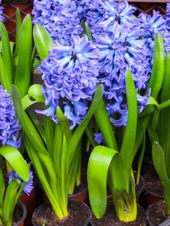 Fine blue hyacinths with a strong aroma in flower pots Zdjęcie Seryjne