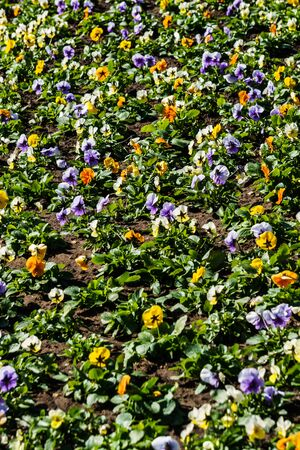 Multicolored flower beds of pansies in the city park.