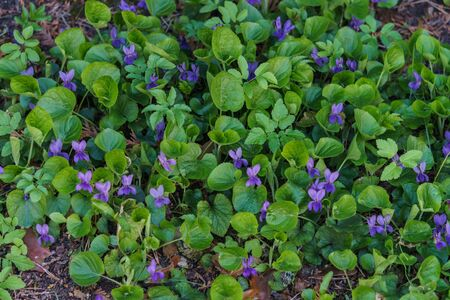 Forest violet with purple flowers in a clearing in the spring forest Banque d'images