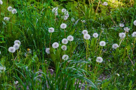 Fluffy dandelions among the grass on a green field