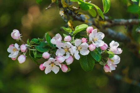 Tender pink flowers of an apple tree on a branch in the garden against a blue sky