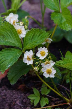 Flowering bush of strawberries in the garden in the garden