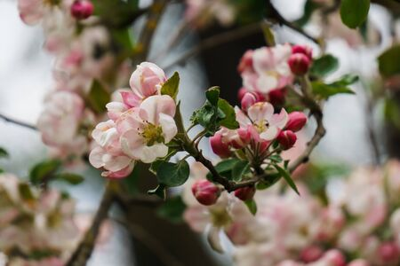 Tender pink flowers and buds of an apple tree on a branch in the garden