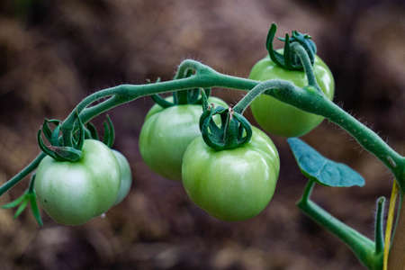 Green unripe tomatoes on a branch in a greenhouse, natural homemade wholesome vegetables
