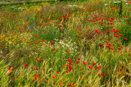 Beautiful landscape. Wildflowers, red poppies, cornflowers white and yellow daisies