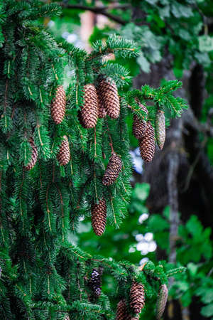 Green spruce branches with young cones close-up Фото со стока
