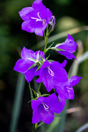 A sprig of bright purple bell flowers in the garden