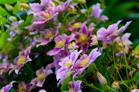 Beautiful lilac clematis flowers blossomed on the bush against the wall Standard-Bild