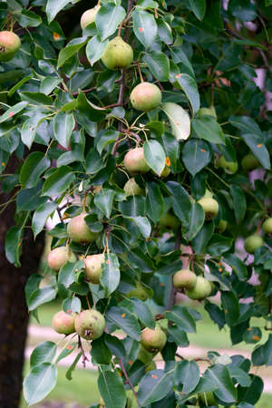 Green pear on the branch of the tree 免版税图像