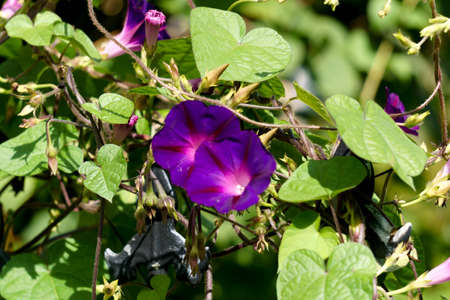 Purple flowers of morning glory in summer in the garden Imagens