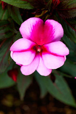 Pink beautiful balsam flower on a dark background