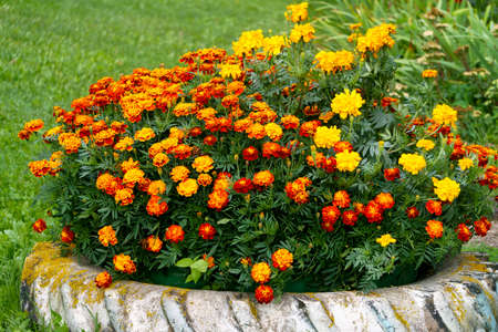 In an old car tire, multi-colored marigolds grow in the garden