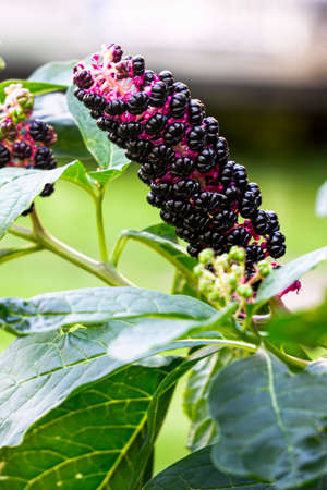 Lakonos or American phytolacca with purple berries in the garden
