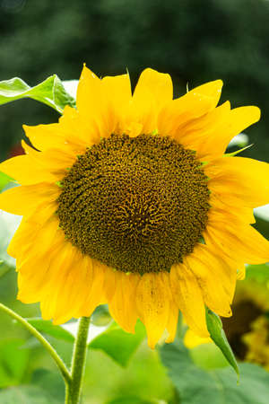 yellow flowers of decorative sunflower in the garden