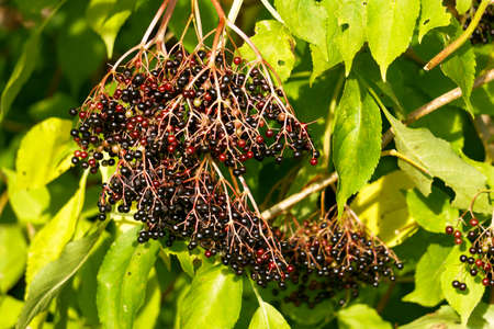 Bunches of black berries on black elderberry branches.