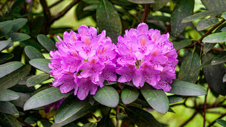 Beautiful lilac rhododendron flowers in the garden Reklamní fotografie