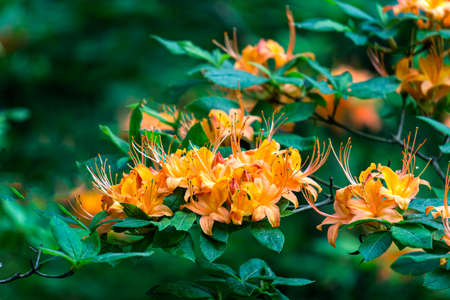 Beautiful bright orange rhododendron flowers in the park