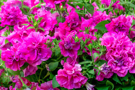 A background of terry, bright pink petunias, a close-up shot in the garden