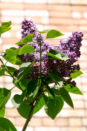 A branch with gentle lilac double lilac flowers in a spring garden