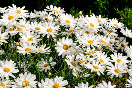 A bush of beautiful large white daisies in a garden bed in an old garden