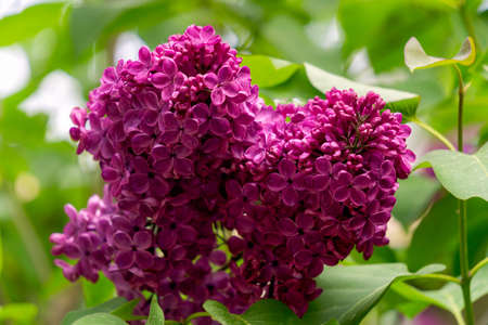 A branch with dark lilac double lilac flowers in a spring garden