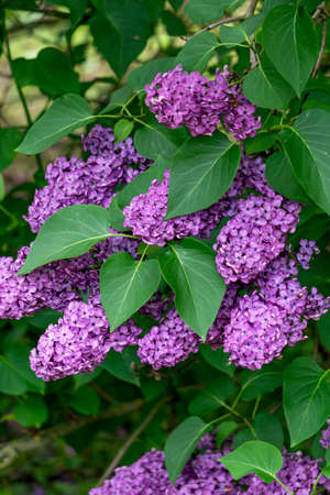 A lilac branch with lots of purple flowers