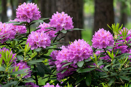A rhododendron bush with lots of beautiful purple flowers