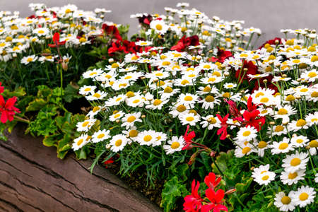 White daisies together with red geraniums are planted in a wooden tub Reklamní fotografie