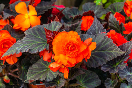 Seedling bushes of bright red begonia in flower pots
