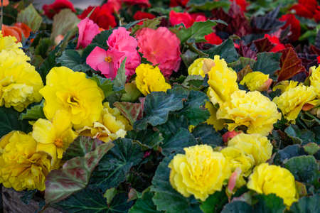 Many seedlings of flowering bushes of yellow and pink begonias in pots in a flower shop