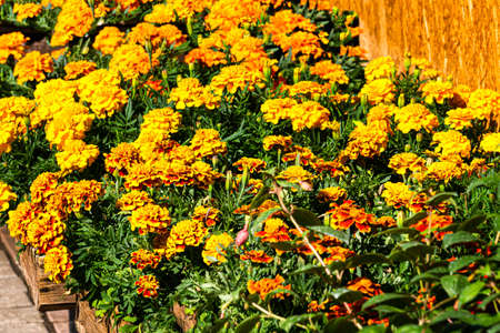 Seedling bushes of multi-colored marigold flowers in flower pots